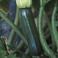 Семена кабачка Супремо F1 (Syngenta, АГРОПАК +), 50 семян — ранний гибрид (40 дней), цукини, темный