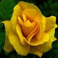 "Саженцы розы ""Керн"" Крупномерная ."