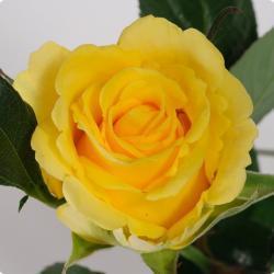 """Саженцы розы """"Пенни Лэйн"""" Крупномерная."""
