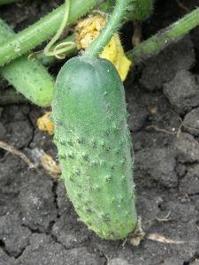 Семена огурцов Соната F1 10 г пчелоопыляемый