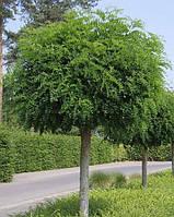 Робиния Умбракулифера (Umbraculifera), обхват ствола 10-12 см