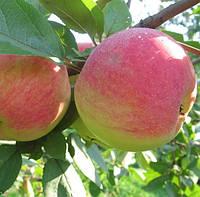 "Саженцы яблони сорт ""Конфетное"""