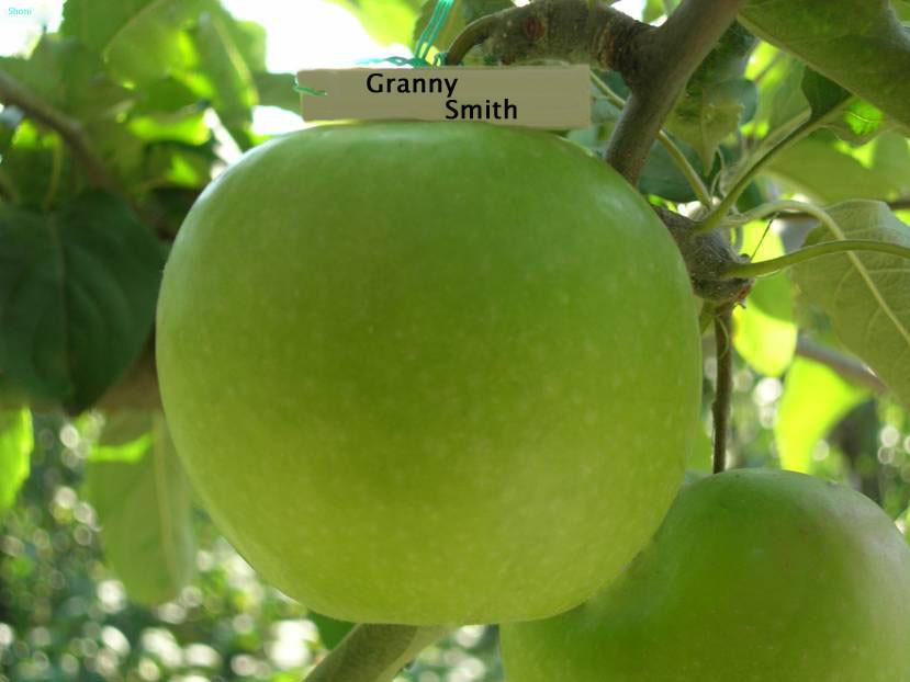 "Яблоня ""Гренни Смит"""
