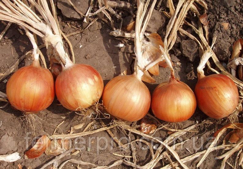 Семена лука Испаньол F1 \ Espanyol F1 0,5 кг Clause