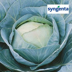 Семена капусты Адаптор F1 (Syngenta), 2500 семян — средне-поздний гибрид (115-120 дней), белокочанная.