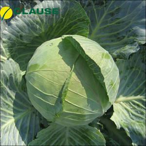 Семена капусты Бригадир F1 (Clause), 2500 семян — средне-поздняя (110-120 дней), белокочанная, фото 2