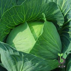 Семена капусты Бронко F1 (Бейо/Bejo), 2500 семян — средне-поздняя (80 дней), белокочанная.