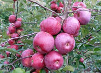 Саженцы яблони сорт Флорина