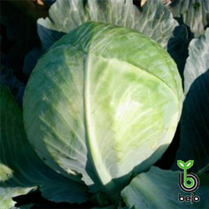 Семена капусты Церокс F1 (Бейо/Bejo), 2500 семян — средне-поздняя (80 дней), белокочанная.