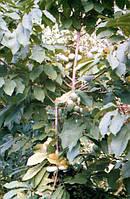 Хрупкая древесина азимины не всегда выдерживает тяжелые грозди