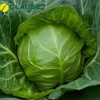 Семена капусты Легат F1 (Clause) 1000 семян — ультра-раняя (48-50 дней), белокочанная