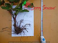 Саджанці Rubus fruticosus  2-х річні Triple Crown весна 2017