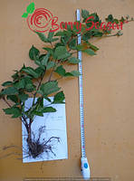 Rubus fruticosus  дворічні Трипл Крауносінь 2017