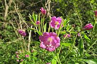 Кипрей болотный, семена