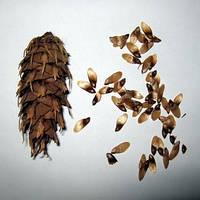 Семена дугласии (псевдотсуга) зеленой