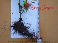 Ремонтантная  Rubus fruticosus  2-х річні Гайвесна 2017
