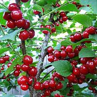 Семена вишни войлочной