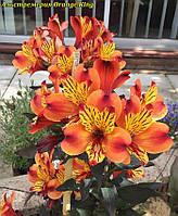 Альстремерия Orange King корень