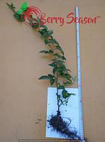 Ремонтантная Rubus fruticosus  3-х річні Гайосінь 2017