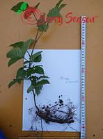 Ремонтантная  Rubus fruticosus  Polar