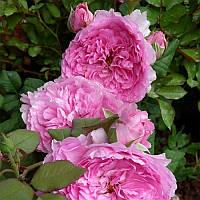 Саженцы роз Жасмина (плетистая)