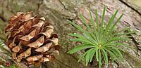 Семена лиственницы японской