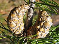 Семена сосны Банкса