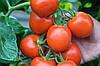 Семена томата Ричи F1 \ Ritchy F1  Bejo 5 грамм