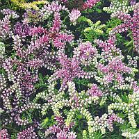 Семена цветов Седум красивый Морская звезда 200 шт.    , фото 1