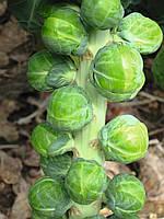 Семена брюссельской капусты Диабло F1 \ Diablo F1 2500 cемян Bejo Zaden