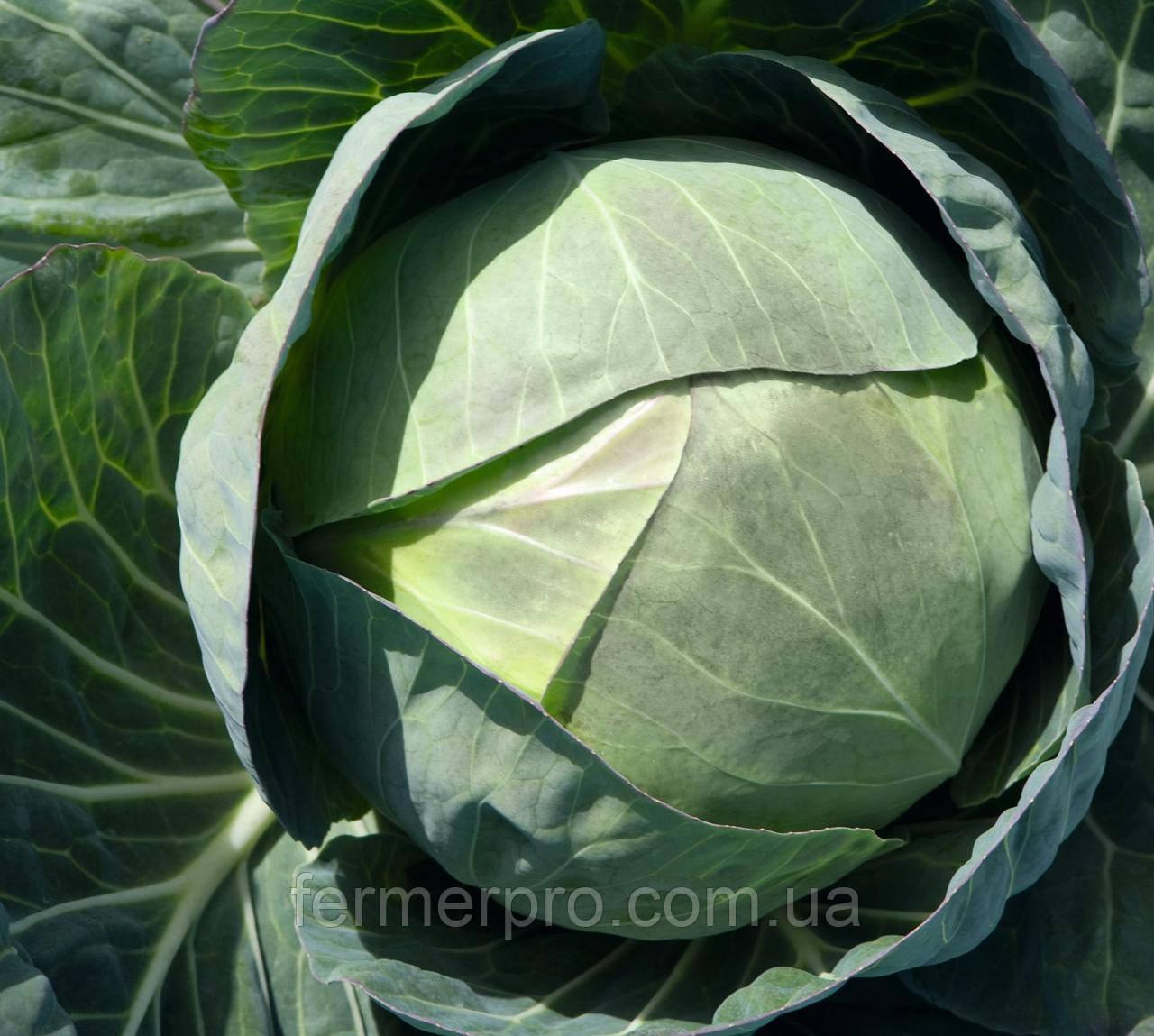 Семена капусты Церокс F1 \ Cerox F1  2500 семян Bejo zaden