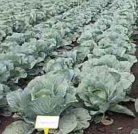 Семена капусты Тайфун F1 \ Typhoon F1 2500 семян Bejo Zaden