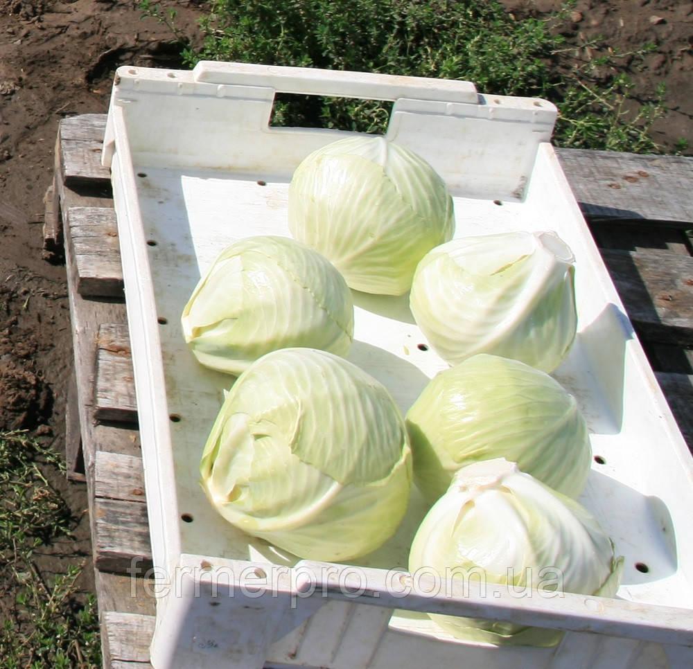 Семена капусты Парадокс F1 \ Paradox F1 2500 семян Bejo zaden