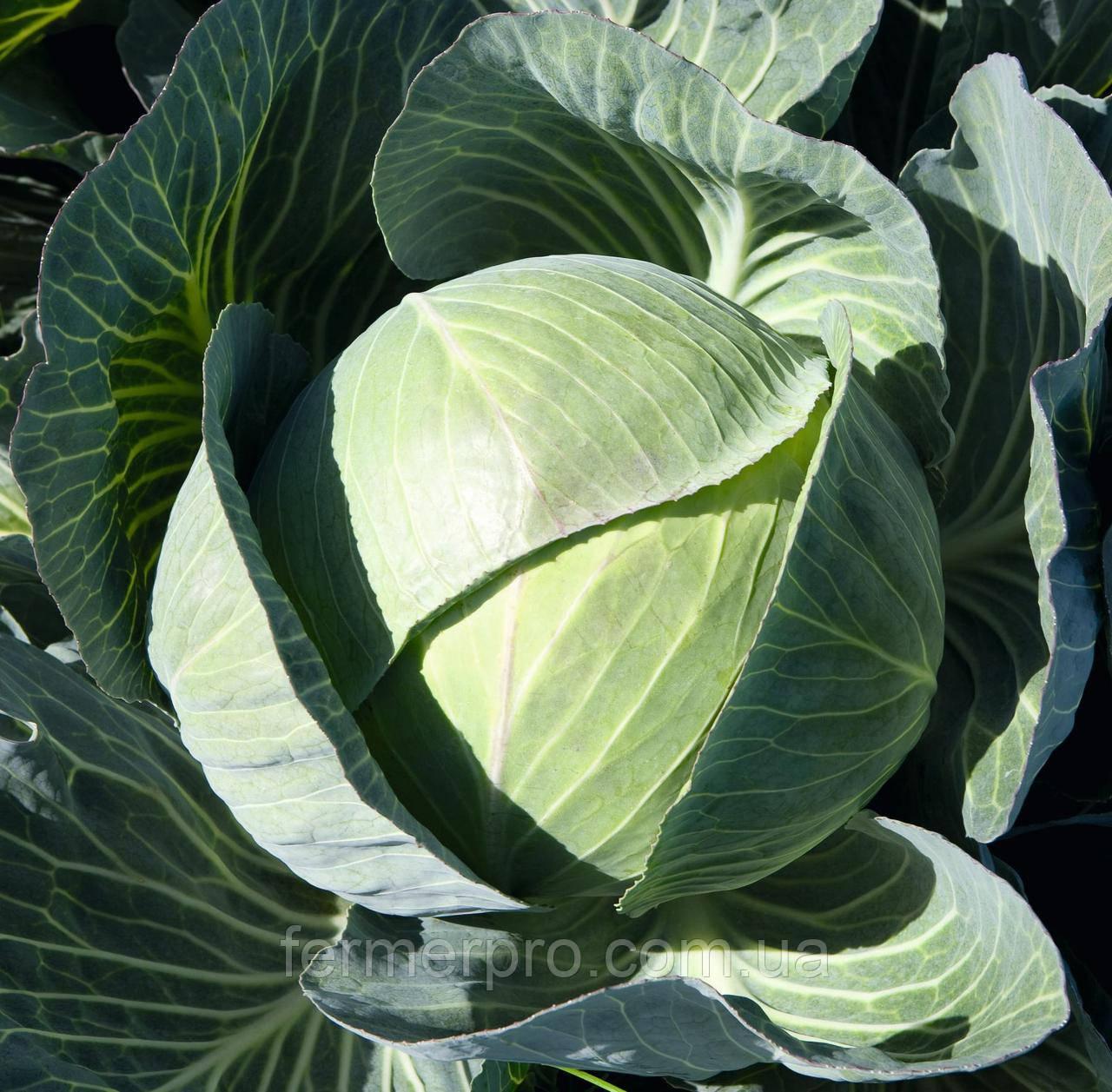 Семена капусты Каунтер F1 \ Counter F1  2500 семян Bejo zaden