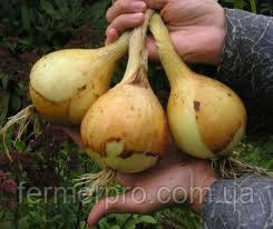 Насіння цибулі салатного Эксибишен \ Exhibition 10.000 насіння Bejo zaden