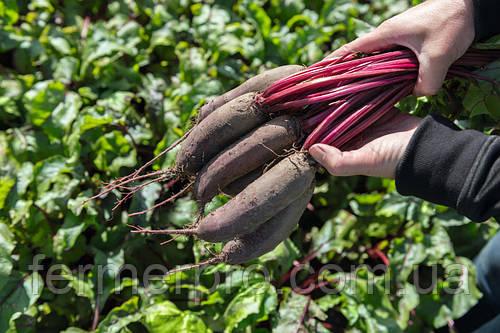 Семена свеклы Таунус F1 \ Taunus F1 50000 семян Bejo Zaden
