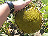 Семена подсолнуха под гербицид Экспресс Гранстар АНТЕЙ, Урожайный. Засухоустойчив.
