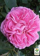 "Роза английская ""Mary Rose"" (саженец класса АА+) высший сорт"