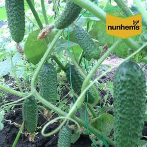 БАРВИНА F1 / BARVINA F1, 500 семян — огурец партенокарпический, Nunhems , фото 2