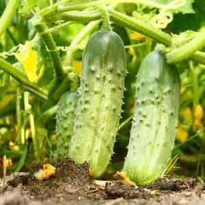 ЧАЙКОВСКИЙ F1 / CHAIKOVSKIY F1, 1000 семян — огурец партенокарпический, Rijk Zwaan, фото 2