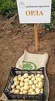 Картофель семенной Орла, ультранний 1 репродукция