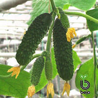 Семена огурца Артист F1 (Бейо/Bejo), 1000 семян — ультраранний гибрид (40-45 дней), партенокарпик