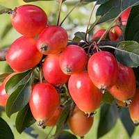 Яблуня декоративна Джон Дауні