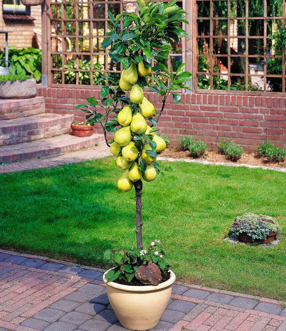 Kolonovidnaya pear: description and photo. Varieties for the Moscow region, planting and care 1