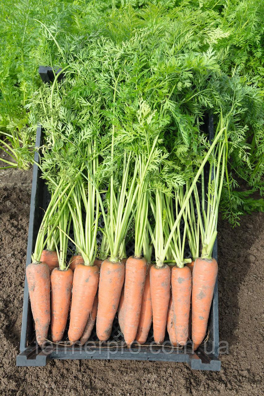 Насіння моркви Канада F1 (1.6-1.8 мм) 1.000.000 насіння Bejo Zaden