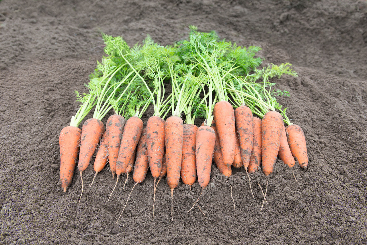Насіння моркви Кантербюри F1 \ Canterbury F1 (2.0 - 2.2 mm) 1.000.000 насіння Bejo Zaden