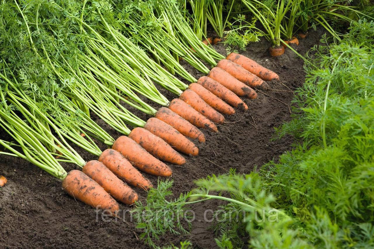 Семена моркови Каскад F1 \ Cascade F1 (1.6 – 1.8 ) 1.000.000 семян Bejo Zaden