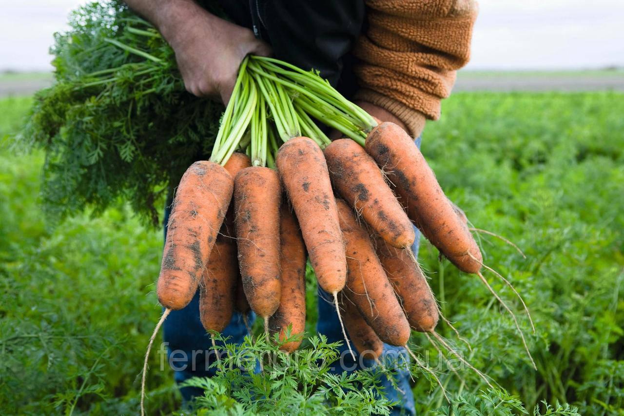 Семена моркови Кардиф F1 (1.6-1.8 мм) 1.000.000 семян Bejo zaden