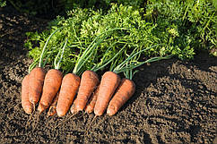 Семена моркови Купар F1 \ Cupar F1 (1.6-1.8 mm) 1.000.000 семян Bejo Zaden