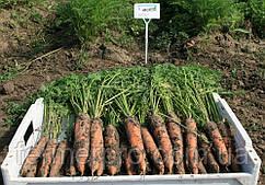 Семена моркови Берлин F1 \ Berline F1 (1.6-1.8mm) 1.000.000 семян Bejo Zaden